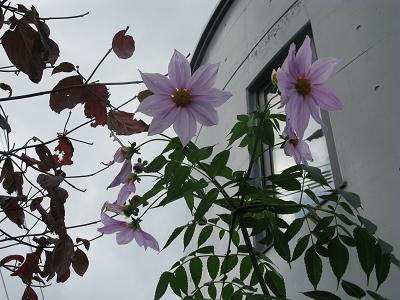 やっと花を咲かせた庭の皇帝ダリア