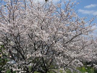 senro-sakura