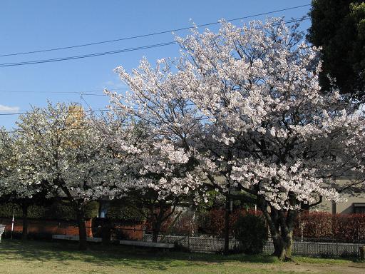 kouen-sakura