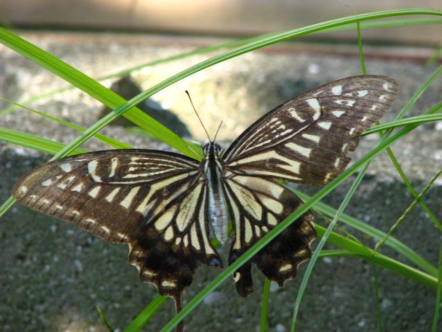 羽を痛めた蝶